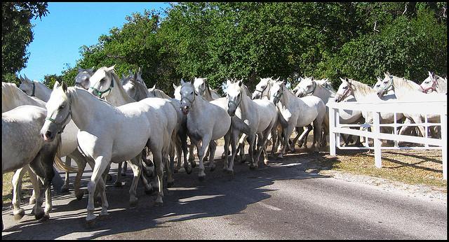 chevaux blancs slovenie