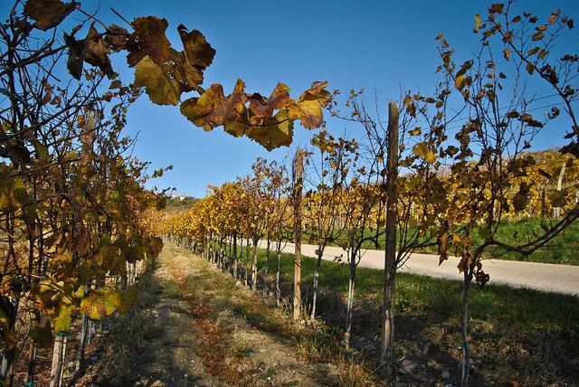 vin slovéne
