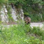 Ours Slovénie, où les voir?