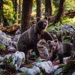 27 ours seront réintroduits dans le parc Tivoli au coeur de Ljubljana