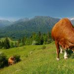 Entre les lacs de Bled et de Bohinj, la belle route des alpages !